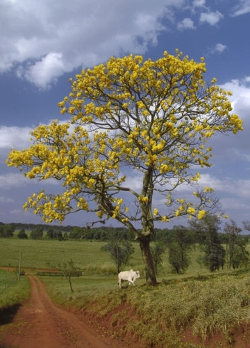 Golden Trumpet Tree. I love this tree.