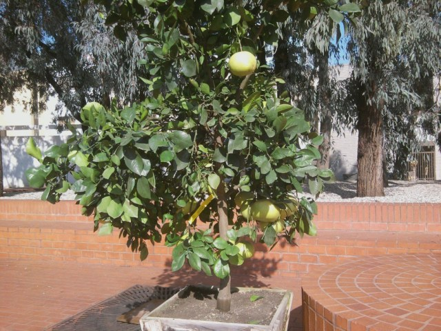 The new tree ready for planting already bears large grapefruits.