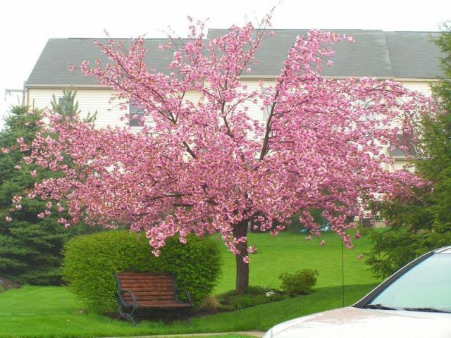 "This is what a ""mature"" Cherry Blossom look like- pretty, huh?"