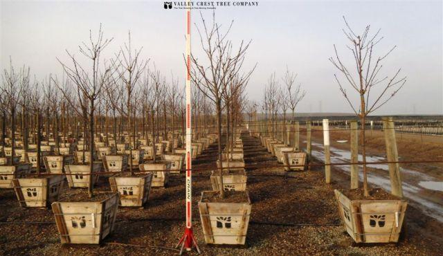 24 Prunus s. 'Kwanzan' 510 0113